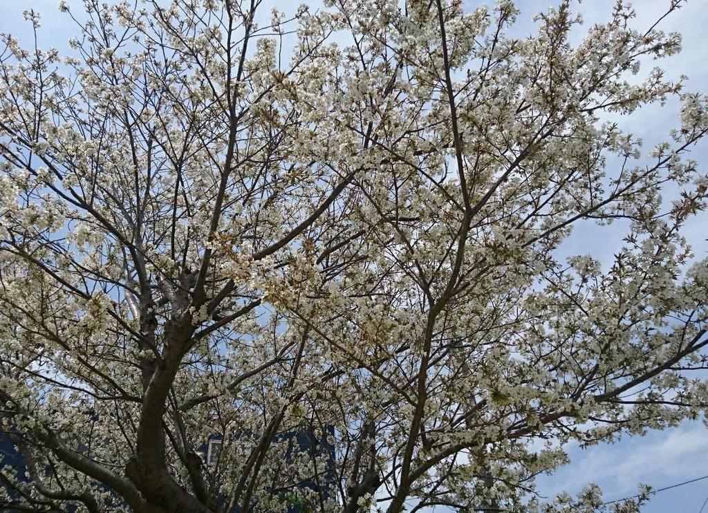 写真[山桜].jpg
